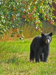 Bear and apple tree - Louise Williams
