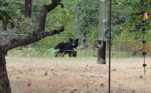 An electric fence can keep bears away from your fruit trees.
