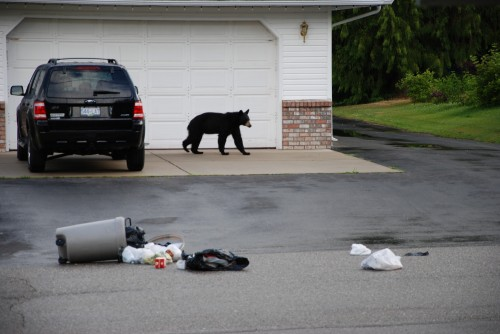 Black bear eating garbage, 2010
