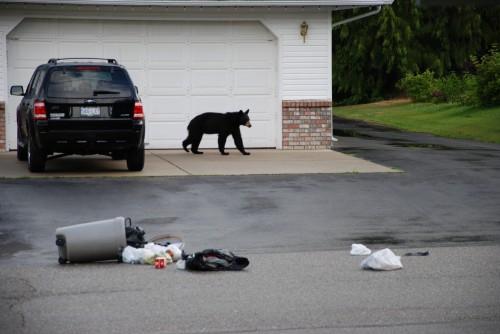 Black bear eating garbage, 2010