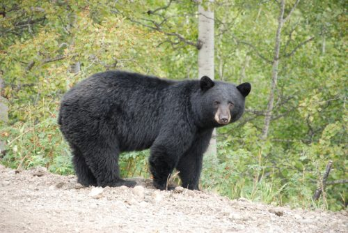 Revelstoke Bear Aware Society - Black Bear