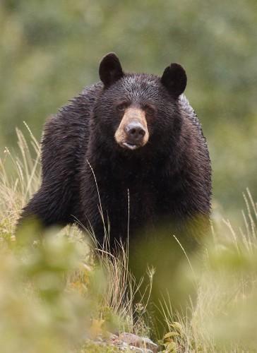 bear aware donation -  peter sulzle